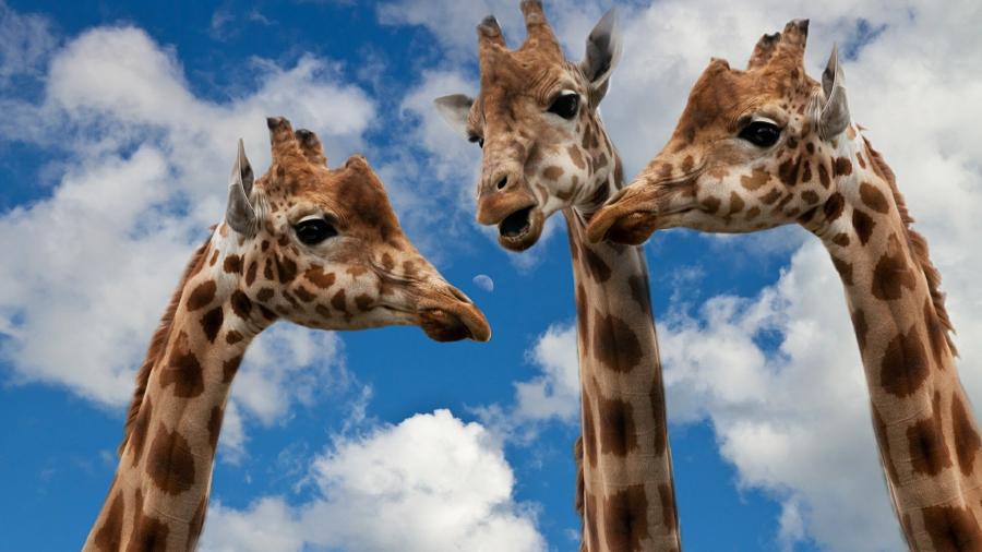 Eignungsdiagnostik verstehen: Drei Giraffen unterhalten sich in großer höhe, aber verstehen sie sich?